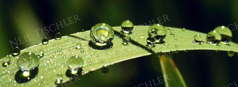 #1050  Spherical water droplets perch impossibly along curved leaf surface.