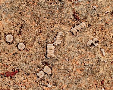 Crinoid skeletal plates