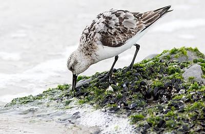 Birds (Rockway Beach)