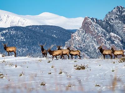 Bull Elk Herd