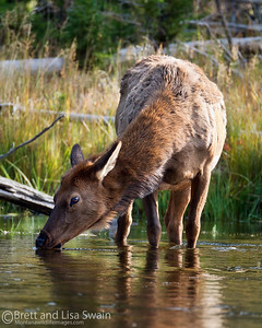 Cow Elk Drinking