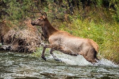 Cow Elk in Creek