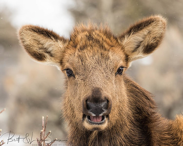 Young Cow Elk Portrait