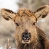 Young Cow Elk Portrait