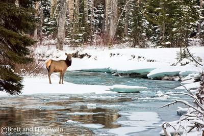 Cow Elk on Coal Creek