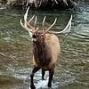 Water Bull#2