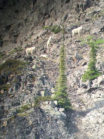 Goat Sighting #4