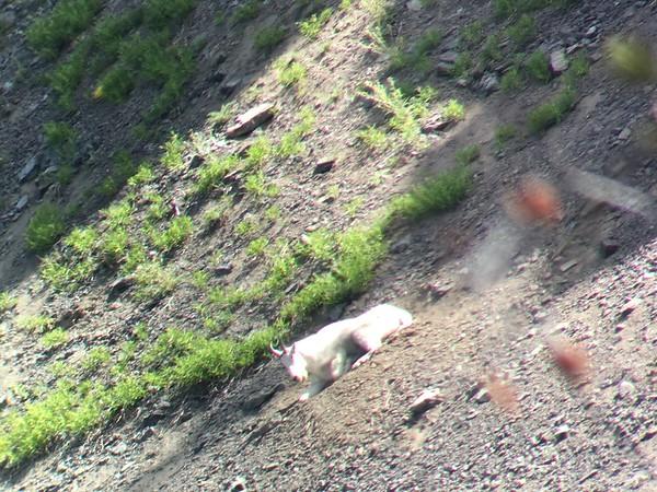 Goat Sighting #3