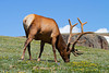 A bull elk grazing on alpine tundra.