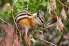 Chipmunk eating some grass