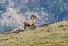 Bighorn sheep on a ridge near Rock Cut