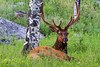 A bull elk rests in a meadow by an aspen grove.