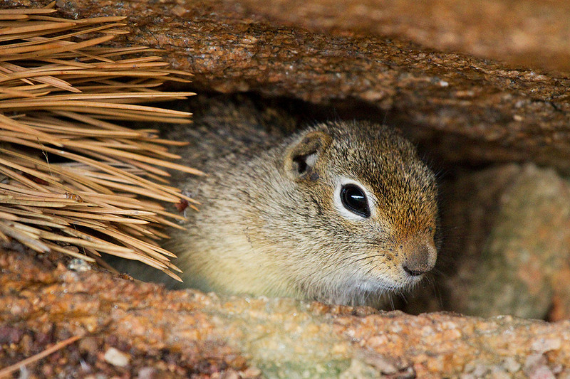 A ground squirrel hiding beneath a rock