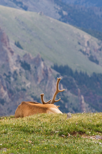 Bull elk napping on a mountain with the adjacent mountain in the background