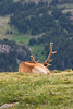 Bull elk napping on a mountain