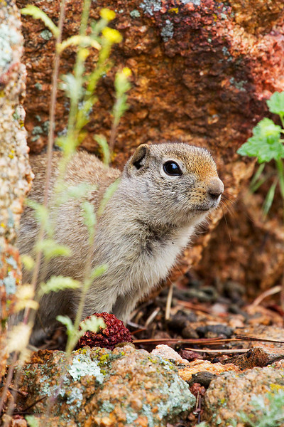 A ground squirrel comes out of hiding