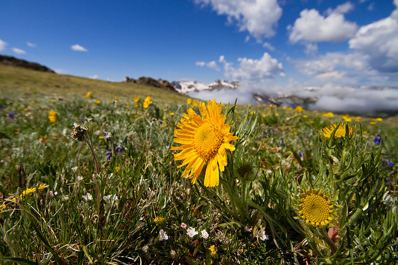 Flowers in the fragile alpine tundra.