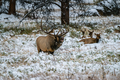 Bull Elk in Colorado