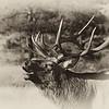Elk Bugling _MG_4732