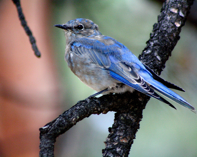 """Mountain Bluebird"" by Jourdyn, 17 