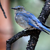 "Rocky Mountain National Park: Jourdyn, 17 - ""Mountain Bluebird"""