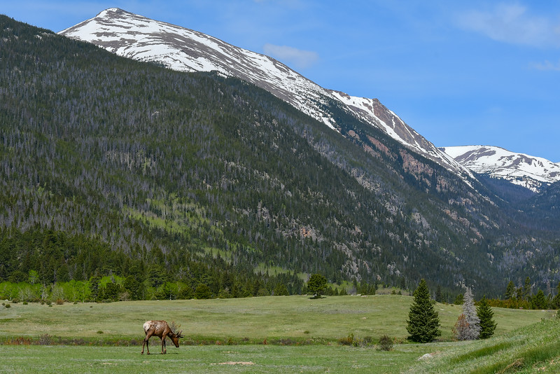 Elk at Rocky Mountain National Park