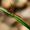 """Red Dragonfly"" by Jourdyn, 17 