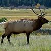 Elk Stare