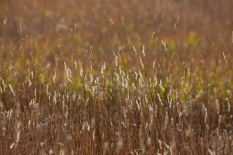Backlit Grass _MG_5212