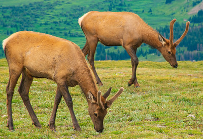 A Pair of Elk Grazing