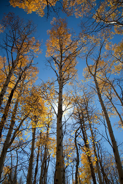 Aspen Trees _MG_5382