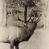 Elk Bugling _MG_4570