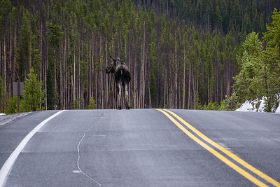 Moose on Trail Ridge Road