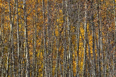 A wall of aspen near the Colorado Trail crossing at Kenosha Pass.