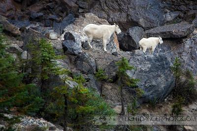 Mountain Goats, Yoho National Park