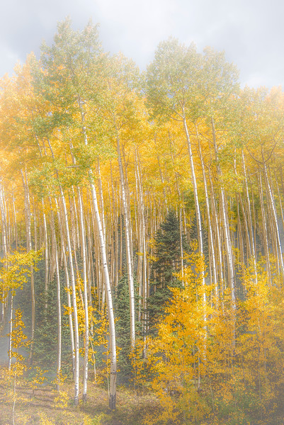 Aspens, Owl Creek Pass