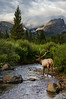 Elk at Storm Pass