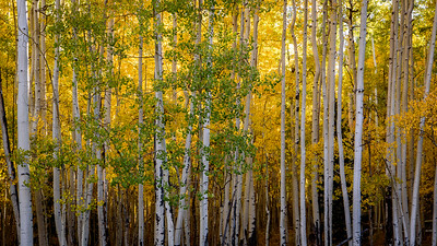 Aspens, San Juan Mountains