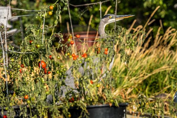 Tomato Guard or Thief ?