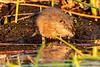 Muskrat at Sunrise