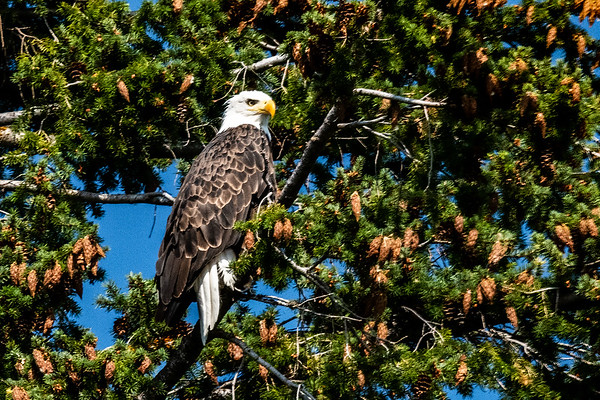 Bald Eagle in Tree by Our Deck