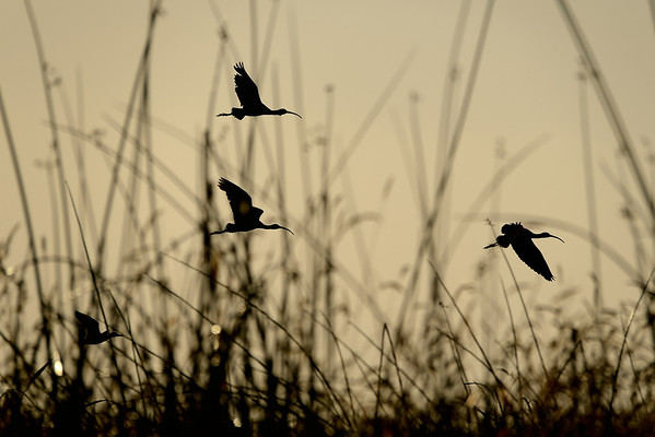 White Faced Ibis over Marshes