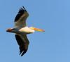 Pelican Above