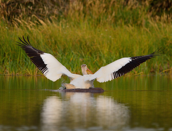 Pelican Sliding off a Log
