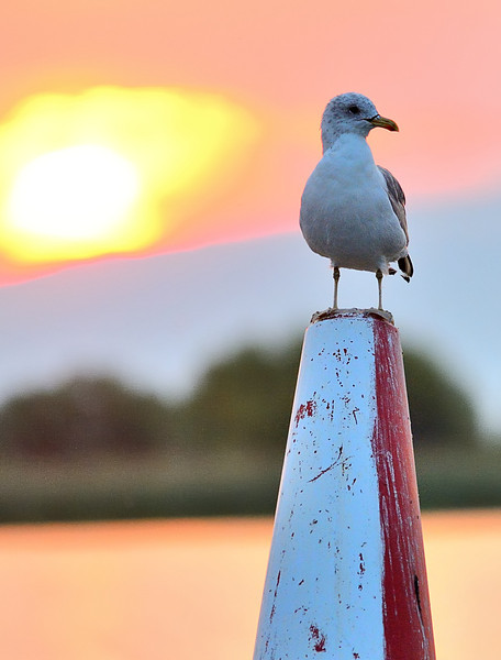 Buoy Gull 2