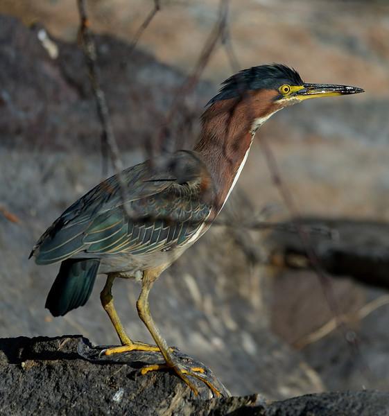 Green Heron 1