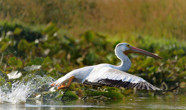 Backlit Pelican Taking Off 3