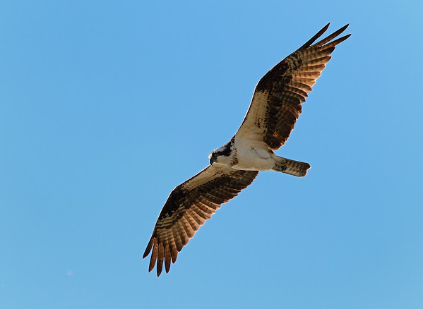 Osprey above our Beach