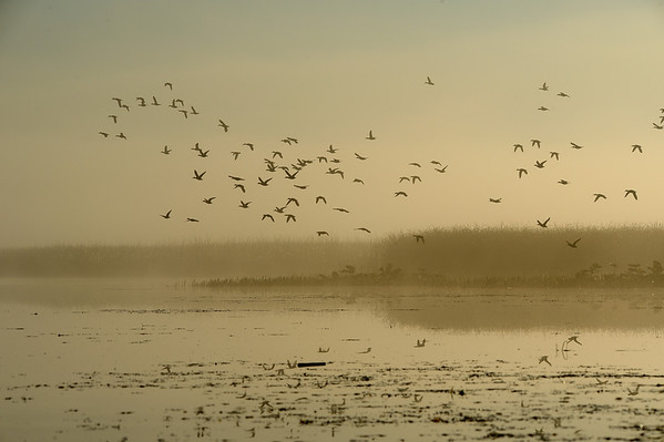 Birds over Marshland 1