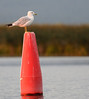 Buoy Gull 1